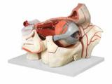 眼球与眼眶附血管神经模型