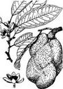 小白菊内酯 Parthenolide 20554-84-1