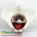 ENOVO颐诺女性骨盆生殖器官模型医学盆腔附件结构膀胱阴道模型