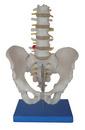骨盆带五节腰椎模型