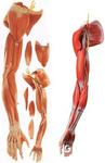 上肢肌肉附血管神经模型,肌肉解剖教学模型