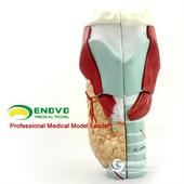 ENOVO頤諾醫學人體喉模型喉肌喉軟骨喉腔解剖耳鼻喉科醫學模型