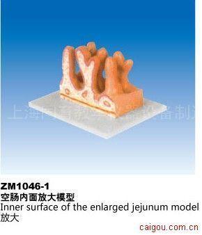 空肠内面放大模型