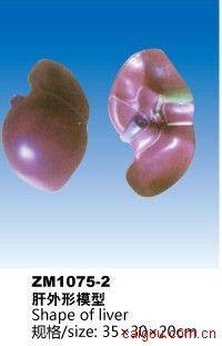 肝外形模型