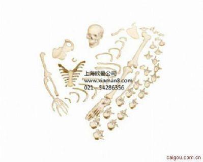 半侧人体骨骼模型