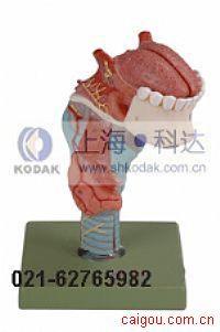 喉附舌、牙模型