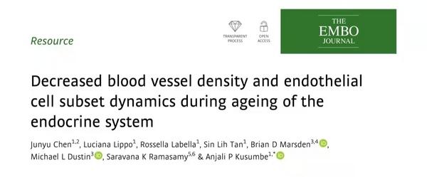 最近进展:内分泌系统老化过程中血管密度和内皮细胞亚群的动态变化