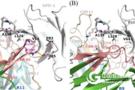 人/鼠PD-1交叉反应抗体的发现和结合机制研究