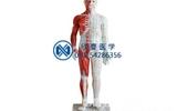 人体针灸模型带肌肉解剖