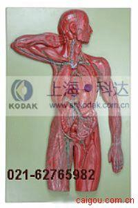 淋巴系统模型