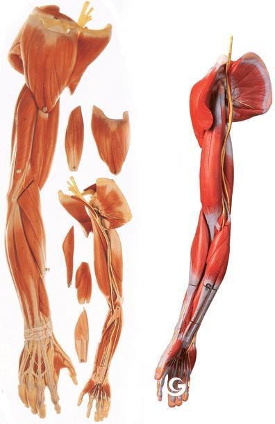 上肢肌肉附血管神經模型,肌肉解剖教學模型